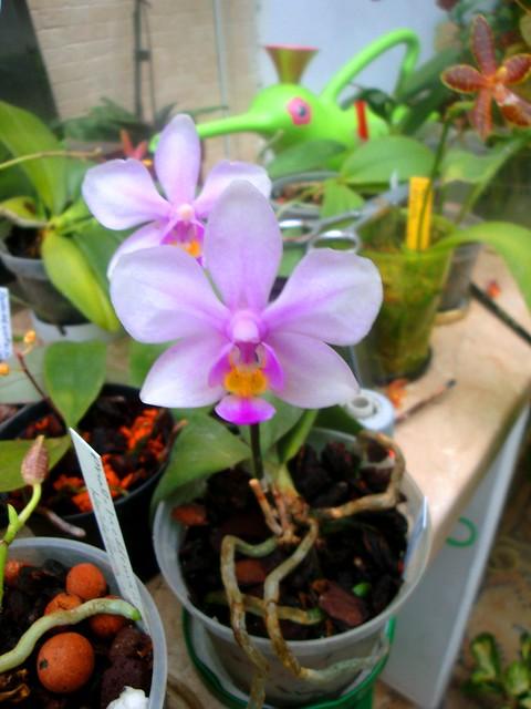 Phalaenopsis Amabracea (amabilis x honghenensis) 9920616566_69bf8579b2_z