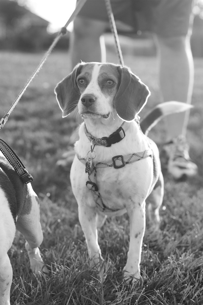 Beagle B&W Project, 9