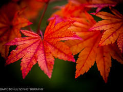 Leaf Study Orange