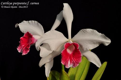 Cattleya purpurata f. carnea by Mauro Rosim
