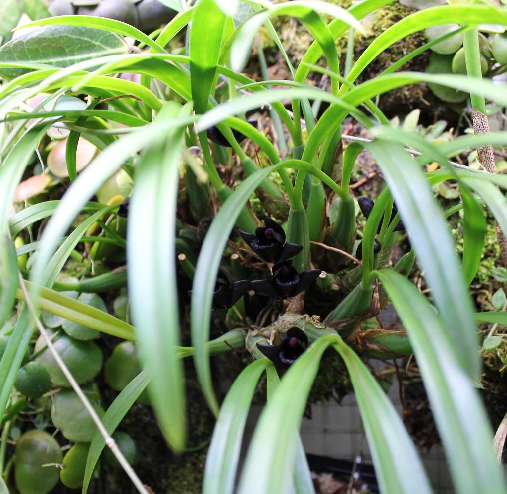Maxillaria schunkeana 11498990883_6cd6ff611b_b