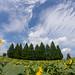 空と雲と向日葵と - A summer scene -