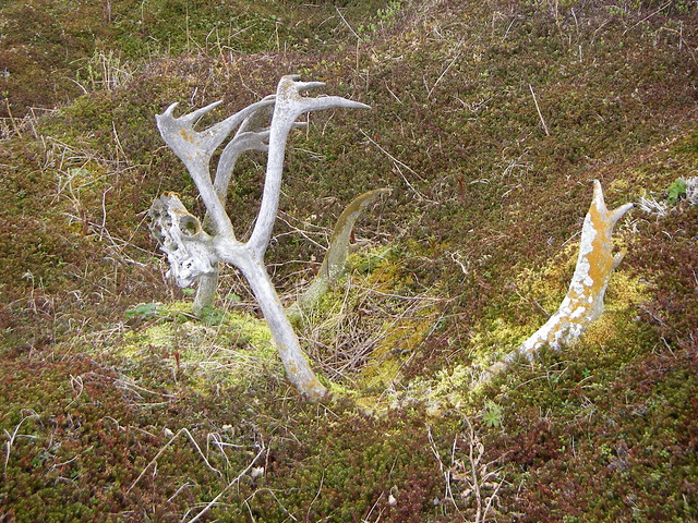 Caribou antlers on tundra