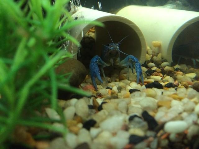 Electric Blue Crayfish d