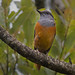 Forest Rock-Thrush - Photo (c) Frank Vassen, some rights reserved (CC BY)