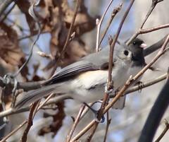 sparrow(0.0), winter(0.0), finch(0.0), chickadee(0.0), brambling(0.0), animal(1.0), branch(1.0), nature(1.0), fauna(1.0), junco(1.0), close-up(1.0), emberizidae(1.0), beak(1.0), twig(1.0), bird(1.0), wildlife(1.0),