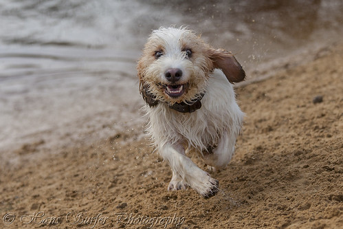 A Happy smile of a Grand Basset Griffon Vendéen!