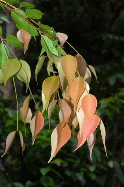 Syzygium luehmanii DSC_0098 (3)