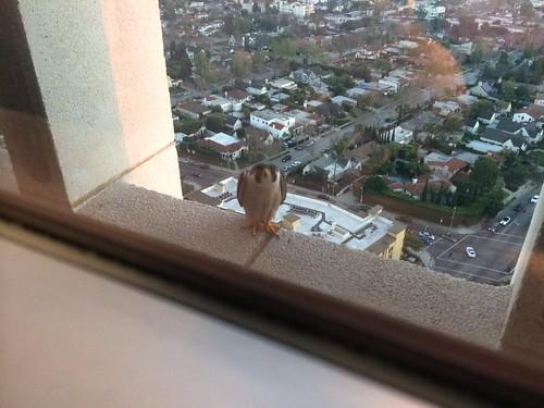 Peregrine Falcon on the ledge