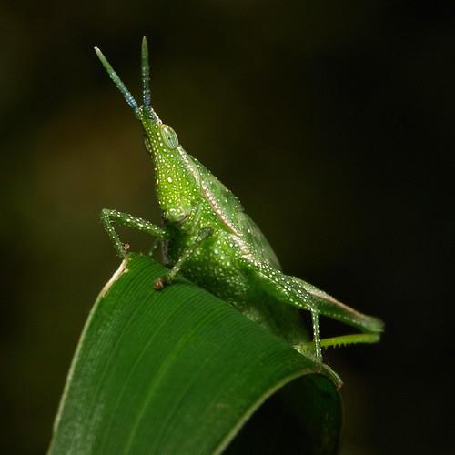 Vegetable Grasshopper Nymph (Atractomorpha sp., Pyrgomorphidae)