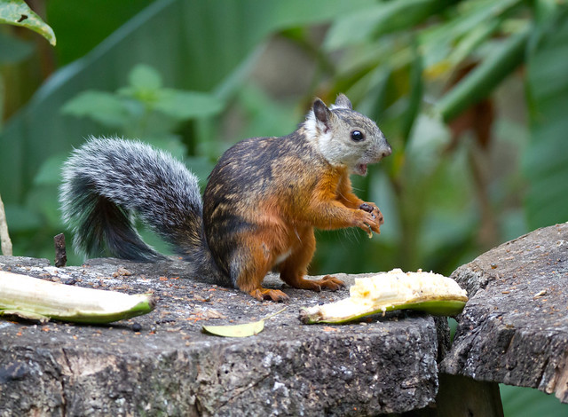 Variegated Squirrel 3