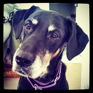 Lola says Good Morning and wants to know if you've got treats... #dogstagram #dobermanmix #dobiemix #rescued #instadog #adoptdontshop #ilovemydogs #ilovebigmutts