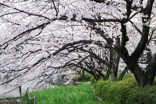 2014 名城公園公園 花見(2014 Nagoya Castle Park)