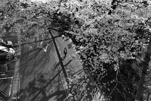 満開の桜の上と下。