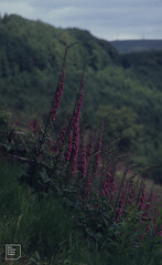 Foxgloves, east side of Great Garth 1995, after felling of conifers.