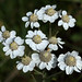 Small photo of Achillea ptarmica (Sneezewort)
