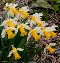 Daffodils wild