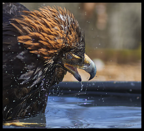 goldeneagle eagle wordbirdsanctuary stlouis missouri nikon d800 85mmsigmaartlens