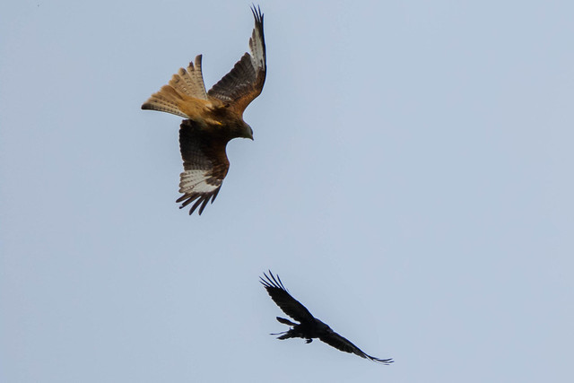 Red Kite Getting Mobbed
