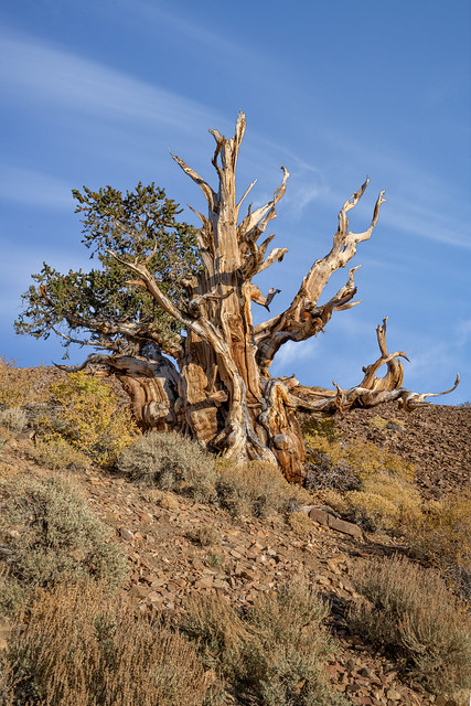 Ancient Bristlecone Pine, Schulman Grove, California