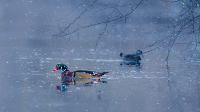 Woodduck in Snow