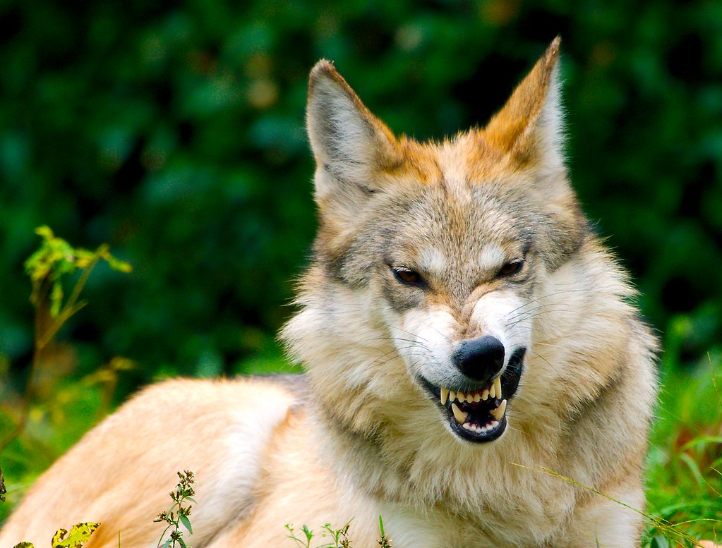 Mexican Wolf_15