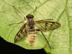 Snipe Fly Killer Fungus