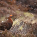 Red Grouse by forbesimages