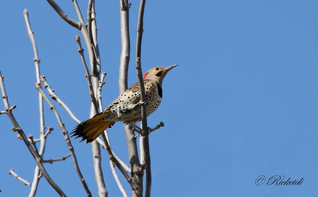Pic flamboyant / Northern flicker male