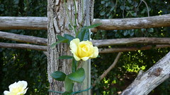 Rose 'Golden Showers' Glows in the Rose Garden