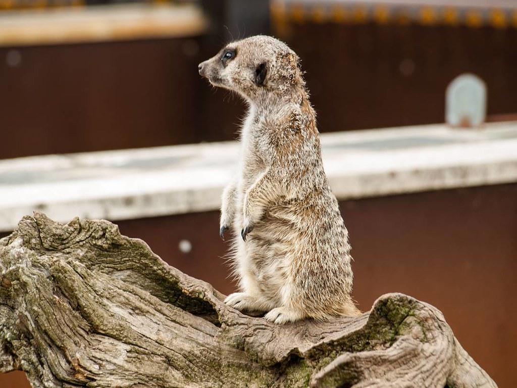 Waiting weekend. #suricato #suricate #suricata #travelphoto #cabárceno #verano2016
