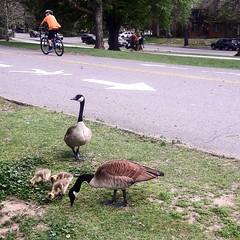#geese #babygeese #gooses #denvercolorado #thepark #family #nature #washingtonpark #life