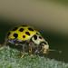 22-spot ladybird - Psyllobora 22-punctata by afterforty‽