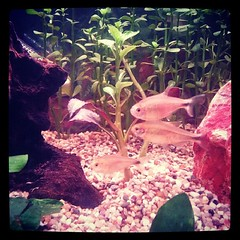 Happy silver tipped tetras! :)