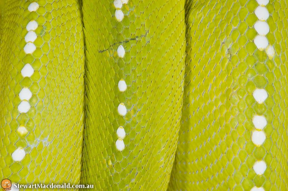 Green python (Morelia viridis)