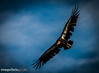 California Condor soars  at Pinnacles national Monument 2