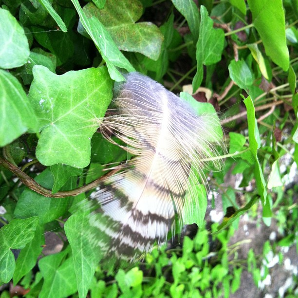 #photoadayALBsummer: Owl feather! #hagley
