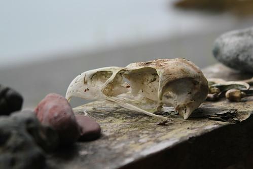 Eagle skull by izik