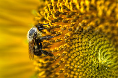 Bee on Sunflower HDR