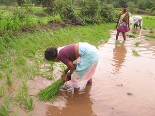 Women transplanting rice seedlings.