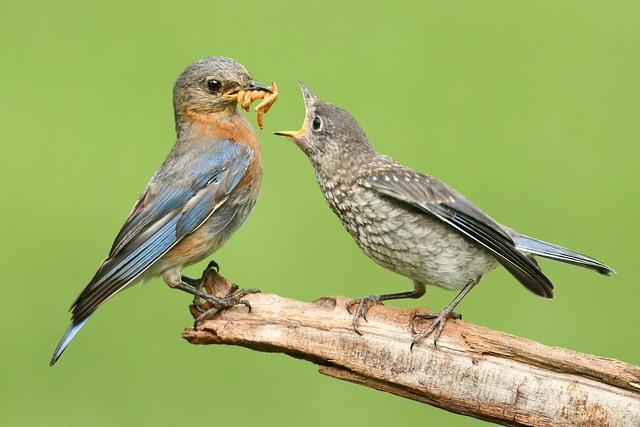 Eastern Bluebird Feeding Baby Flickr Photo Sharing