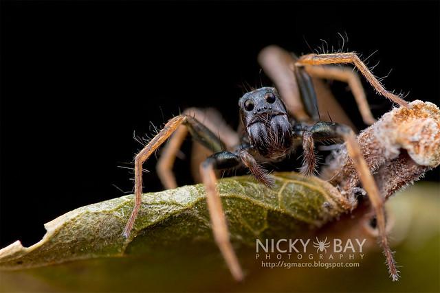 Wolf Spider (Lycosidae) - DSC_3389