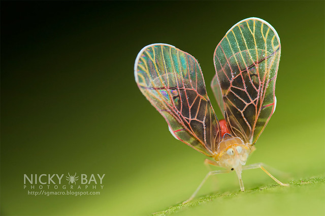 Derbid Planthopper (Derbidae) - DSC_3258