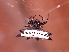 Jewel Box Spider - Gasteracantha cancriformis - Family Araneidae