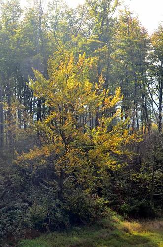 An einem Laubbaum im Wald ist schönes Herbstlaub
