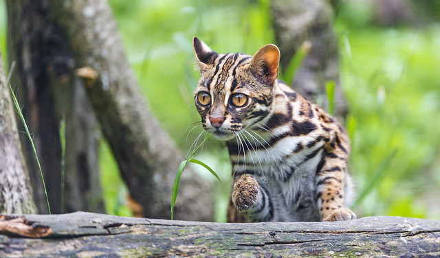 Indonesian leopard cat and wood