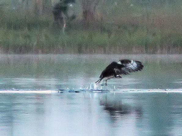 Osprey impact 5-20131020