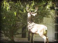 Lunching deer