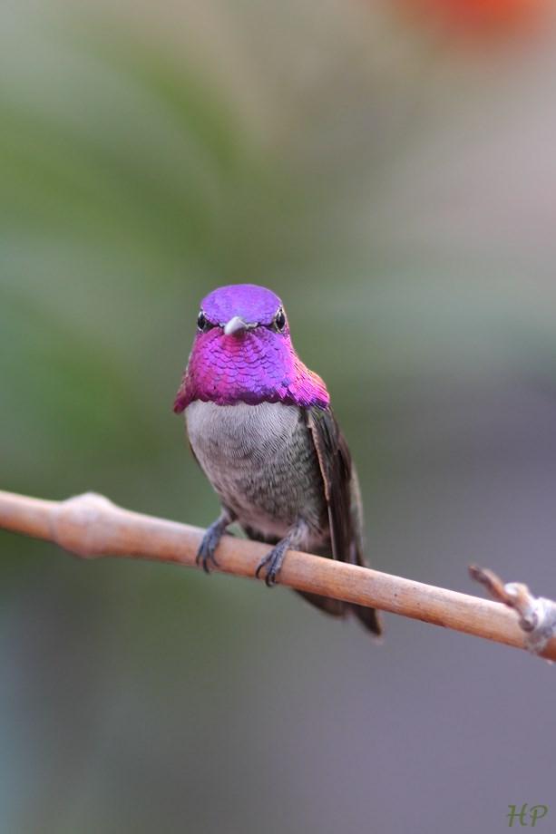 Costa's X Anna's Hummingbird 102813