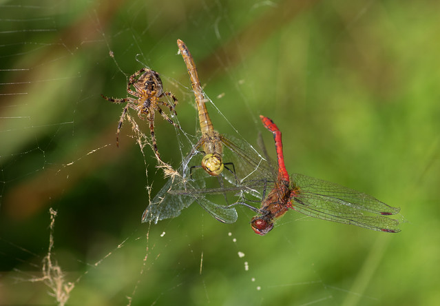 garden spider eating ruddy darters